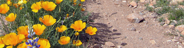 Photo of yellow desert flowers and a parthway